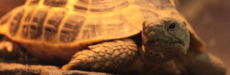 Żółw - Testudo Hermanni